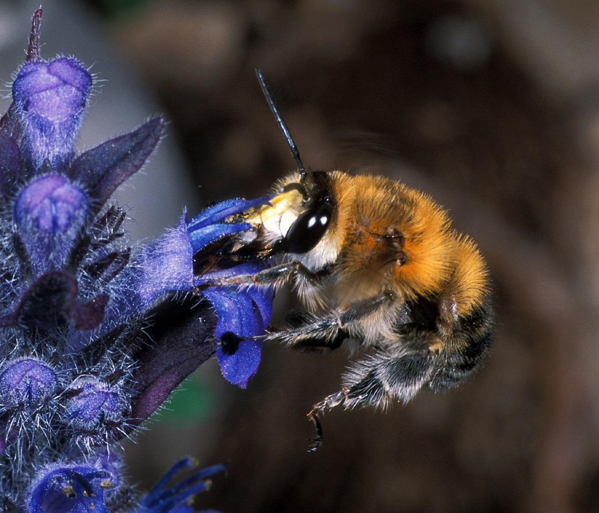 Prezrte čebele – raznovrstnost divjih čebel v Sloveniji